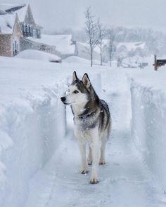 Wonderful All About The Siberian Husky Ideas. Prodigious All About The Siberian Husky Ideas. Alaskan Husky, Alaskan Malamute, Beautiful Dogs, Animals Beautiful, Cute Animals, Husky Breeds, Dog Breeds, Loki, Wolf Husky