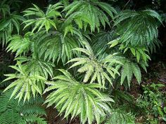 In Australia Sticherus-ferns are commonly referred to as shield ferns, In the United States as umbrella ferns.
