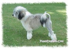Lowchen Puppies Breeders Lowchens