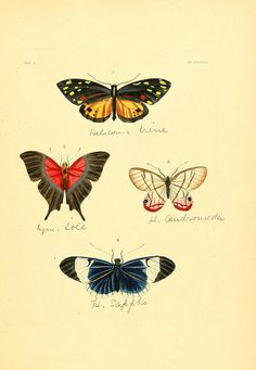 Heliconian butterflies by BioDivLibrary on Flickr.  Illustrations of exotic entomology :. London :Henry G. Bohn …,1837..biodiversitylibrary.org/page/12426081