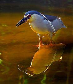 Birds Vol  The Blackcrowned Night Heron Lees