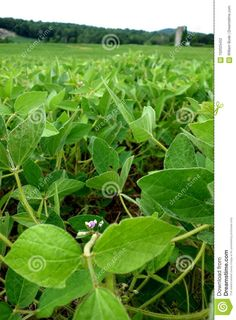 Photo about A closeup of a soy bean plant in flower at the edge of a large mono crop of a soy plantation field. Image of farm, soybean, flower - 102025452 Bean Plant, Agriculture, Planting Flowers, Plant Leaves, Beans, Stock Photos, Image, Flowering Plants, Prayers