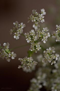 Photography Queen Anna Lace Flower by gunadesign on Etsy, €4.95 high quality instant download