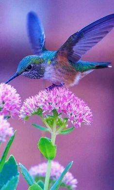 A beautiful Hummingbird feeds from a Sedum flower. Cute Birds, Pretty Birds, Beautiful Birds, Animals Beautiful, Beautiful Pictures, Exotic Birds, Colorful Birds, Bird Pictures, Little Birds