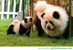 Panda Chow Chow Mom - I MUST have one!!!!!! <3