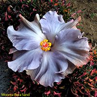 Taiwan Hibiscus - Linda Lee Blue Hibiscus, Hibiscus Flowers, Rose Of Sharon, Exotic Plants, Flower Planters, Vintage Flowers, Pretty Flowers, Fascinator, Planting Flowers