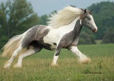 American Gypsy Horses - Silver Pearl  Gray and White Gypsy mare!  WANT!