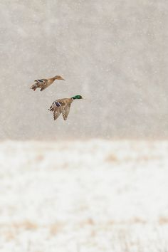 Male and female mallards flying through the snow