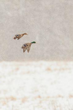 Ducks. #waterfowl #hunting #duck #1816 #remington