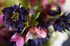 Spring is a fist full of hellebores xo