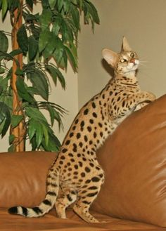 F1 Queen. Cabery is 65% Serval