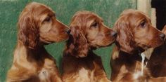 Irish Setter Puppies.  How adorable is that!