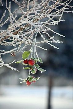 Ice covered red berries.