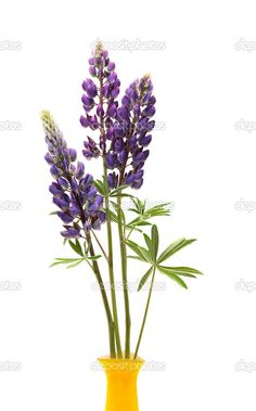 brightlilaclupineflowerbranchisolatedwhite