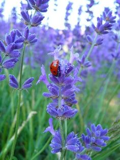 Lavender & a lady bug                                                                                                                                                                                 Mais