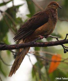 Brown Cuckoo-Dove (Macropygia phasianella) A