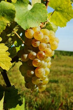 Le sylvaner (c) Conseil Vins dAlsace Fruit And Veg, Fruits And Vegetables, Grape Painting, Wine Vineyards, Fruit Picture, Wine Education, Fruit Photography, Beautiful Fruits, Fruit Drinks