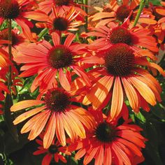 Echinacea Julia. Once established, they produce an abundance of flowers June-September. Butterflies love them! Perfect in containers, mixed borders, and native plant gardens. Sun and lean soil. Insect, disease, wind, heat, humidity and drought tolerant. PERFECT.