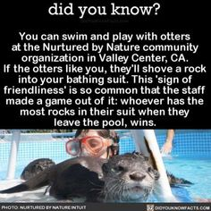 Must swim with otters at Nurtured by Nature in Valley Center, CA. (Before anyone comments that otters use rocks for tools, I will say, I know. I still like to think of them as pet rocks! Oh The Places You'll Go, Cool Places To Visit, Places To Travel, Travel Destinations, Animals And Pets, Funny Animals, Cute Animals, Farm Animals, 1000 Lifehacks