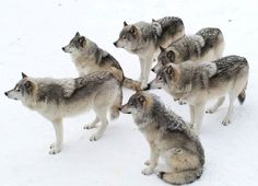 Stop killing wolves! There are just like humans okay they just have a tail treat them right they really deserve it and there are going instinct bc of people killing them not bc they dissapear plz helo wolves and save there lives ! Wolf Photos, Wolf Pictures, Wolf Spirit, Spirit Animal, Beautiful Wolves, Animals Beautiful, Animals And Pets, Cute Animals, Wolf Husky