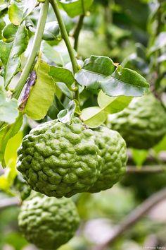 Combava, un agrume mûr de septembre à novembre avec un écorce très parfumée. Son arôme rappelle celui de la citronnelle.