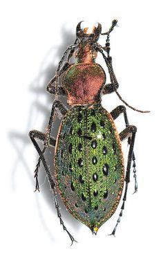 ...beetle
