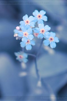 Wild Forget-me-nots from the Cuyahoga Valley National Park, Ohio. WOW, the light pink and baby blue...