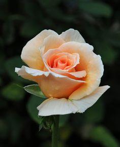 Hybrid Tea Rose: Rosa 'Indian Summer' (U.K., 1991)