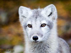 Arctic fox puppy - null