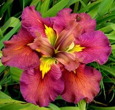 Louisiana Iris ~ I have 2.  Flowers are huge & grow in water.