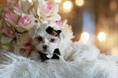 Michael the Maltese Puppy