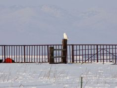 Cullen Clark of Richmond took this photo of a snowy owl at the Amalga Barrens on Feb. 16. The bird has been sighted multiple times in Cache County this month, and is likely to become the 11th snowy owl ever recorded in Utah. Birdwatchers from all over Utah have traveled to Cache Valley with hopes of seeing the owl.