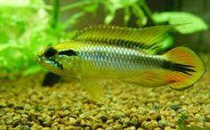 L'Agassizii est l'un des plus vieux Apistos importés pour les besoins de l'aquariophilie. Son succès est lié en partie à ses magnifiques écailles multicolores