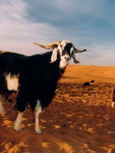 Geitjes in de duinen bij de Berber bevolking in de Sahara, vlakbij Merzouga, Marokko