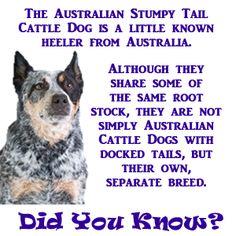 Australian Stumpy Tail Cattle Dog. Describing my Layla <3
