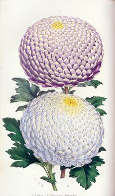 Colored lithograph of chrysanthemums by Walter Hood Fitch from The Florist and Pomologist, 1863.