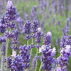 Lavendel durch Stecklinge vermehren Outdoor Life, Travel Photography, Lavender, World, Drawings, Nature, Pictures, Tattoo Vintage, Gardening