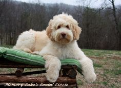 Our Females Fluffy Dogs Labradoodle Puppy Labradoodle Goldendoodle