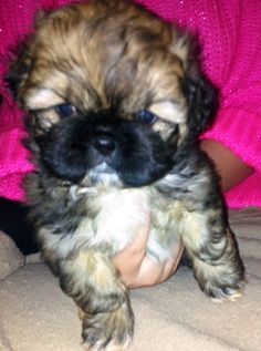 Oliver is a Pekingese shih tzu mix puppy. He loves chew toys, playing with the resident dogs and exploring outside. This cute little guy is confident and fearless, and of course adorable. His breed mix will require frequent grooming and visits to...