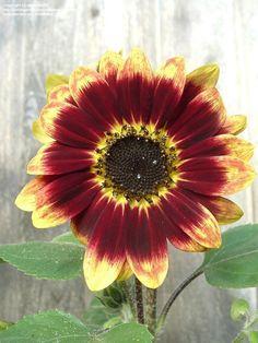 Sunflower 'Florenza' (Helianthus annuus)