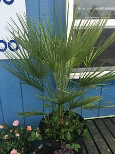 European Fan Palm!!!!! $99.99. 5 Gallon. Atlantic Garden Center