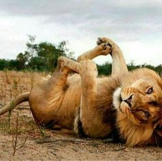 15 Awesome Pictures of Big Cats Being Cute Große Katze niedlich 14 This ima. - 15 Awesome Pictures of Big Cats Being Cute Große Katze niedlich 14 This image has get 153 repi - Animals And Pets, Funny Animals, Cute Animals, Wild Animals, Baby Animals, Beautiful Cats, Animals Beautiful, Beautiful Moments, Beautiful Couple