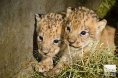 African lion cubs born in October 2014 at Seattle's Woodland Park Zoo. Photo: Ryan Hawk/Woodland Park Zoo.