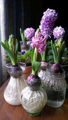 Hyacinth in bloom. Coersed, not forced, bulbs.