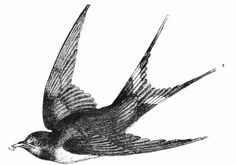 Set of vintage bird illustrations in black & white from grafficalmuse.com