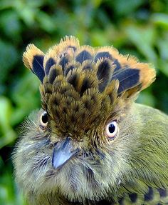 The Scale-crested pygmy Tyrant, given its name for the crown-like ring of feathers on the top of its head. which it raises when attracting a mate, & to seem larger when frightened.Their  natural habitats are subtropical or tropical moist lowland forests of Columbia, Costa Rica, Equador, Panama,  Peru & Venezuela.