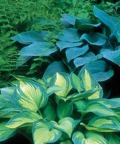Designing with Hostas - Fine Gardening Article