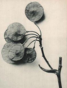 KARL BLOSSFELDT :: Ptelea trifoliata