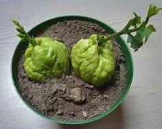 Tout savoir sur la Christophine (également appelée Chayote ou Chouchou), quand et comment planter ? L'entretenir ? Conseils des Jardiniers Professionnels