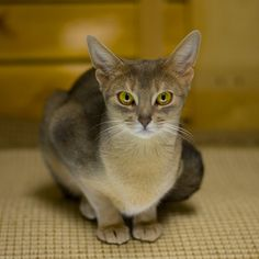 Gorgeous Blue Abyssinian